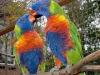 moluccan-rainbow-lory-05